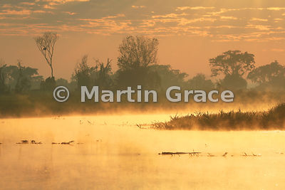 Spectacular golden Pantanal sunrise with single Yacaré Caiman (Caiman yacare) and mist rising off the River Cuiabá, Mato Grosso, Brazil