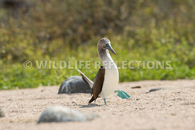 blue_footed_booby_north_seymour-50