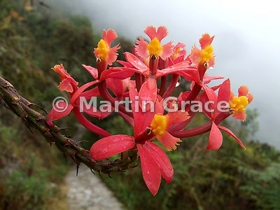 Winay Wayna orchid (Epidendrum secundum) by the Inca Trail, Peru