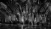 6236-Zebras_drink_in_the_river_Tanzania_2007_Laurent_Baheux