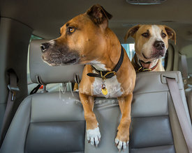 Pair of pitbull dogs in the back seat of a car