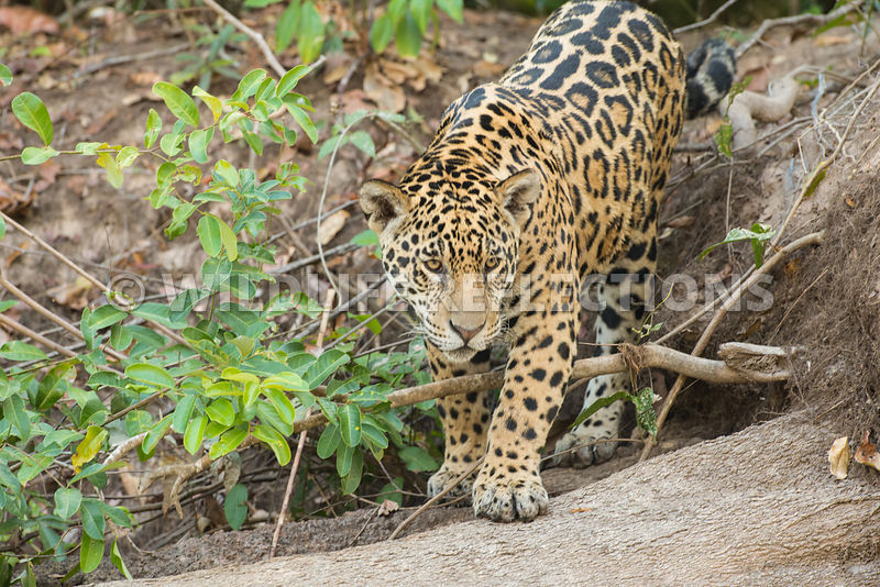 jaguar_onto_log-1-Edit