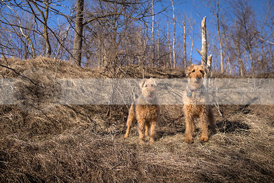 two airedale terriers standing in landscape of dried grass