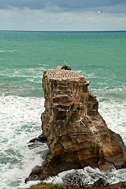Gannets nesting on rocks in New Zealand