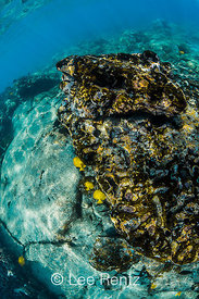Yellow Tang and Sea Urchins along Coral Reef off Big Island of Hawaii
