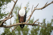 African fish eagle, Haliaeetus vocifer, Kruger National Park, South Africa