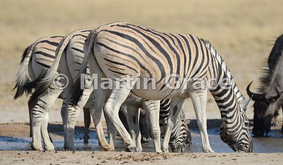 Plains Zebra (Equus burchellii) drinking at Andoni Waterhole, Etosha National Park, Namibia
