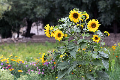 Sunflowers in a garden in Upper Changspa, Leh, Ladakh, India