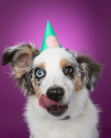 Miniature Australian Shepherd with Birthday Hat and Tongue Out