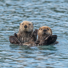 Alaskan Sea Otter wildlife photos