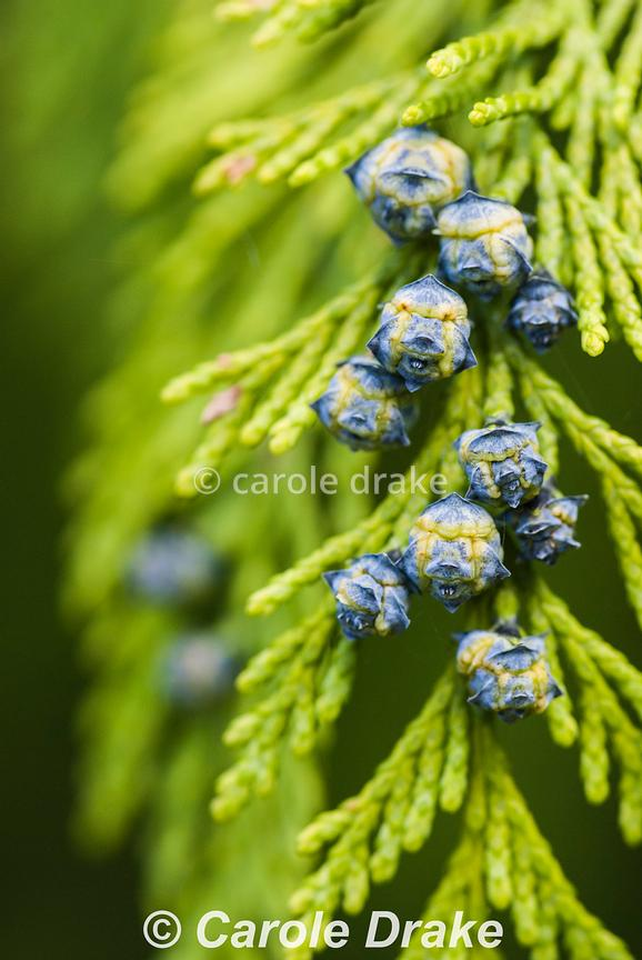 Conifers photographs