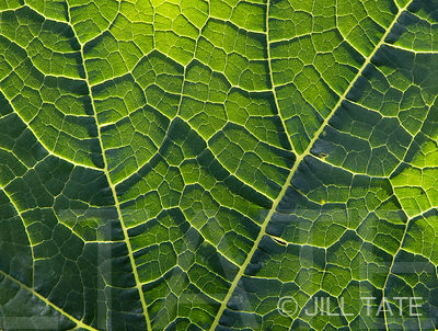 Courgette-Leaf