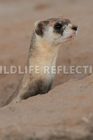 ferret_stretch_from_burrow_close-6