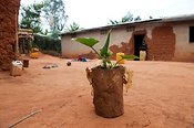 Banana plants growing in home made pots. Rwanda.