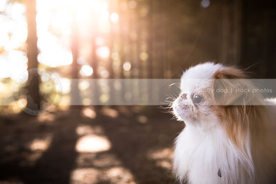 little white and red toy breed dog in pine trees with sunflare