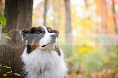 headshot of tricolor longhaired dog in colorful autumn trees