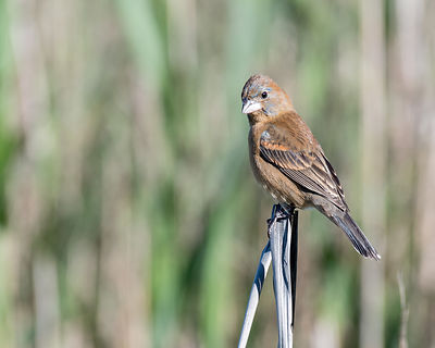 Blue-Grosbeak-Female-1185