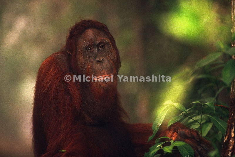 Orangutan's eat mostly fruit, but are also accustom to eating insects, bark and bird eggs.