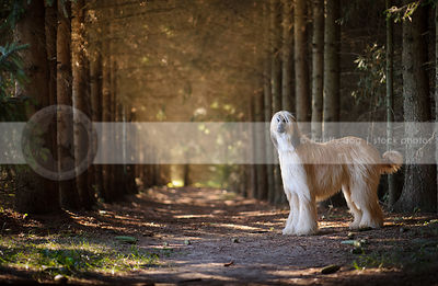 beautiful longhaired dog with mask standing in pine trees