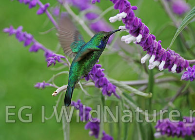 Green violet-ear/Talassinkolibri - Costa Rica