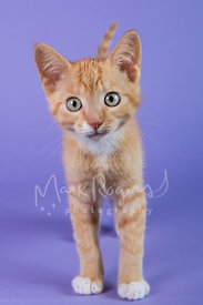 Head-on Orange Tabby Kitten with White paws Standing Against Purple Studio Background