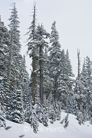 Subalpine forest during a snowstorm on Hurricane Ridge, Olympic National Park, Olympic Peninsula, Washington, USA, March, 2009_WA_8134