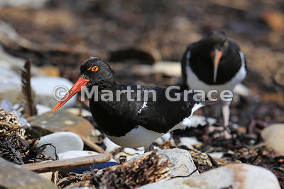 Adult Magellanic Oystercatcher (Haematopus leucopodus), trailed by one of its offspring, feeding in the strand line, Carcass Island, Falkland Islands