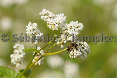 photographie abeille pollinisant une fleur de sarrasin agricole. Black Bedroom Furniture Sets. Home Design Ideas