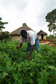 African man knocking crop with stick to release seeds Kenya Africa
