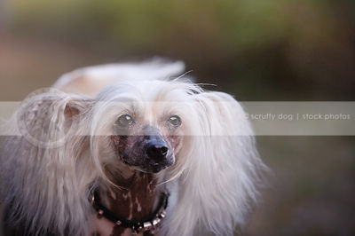 closeup headshot of chinese crested freckled dog with tufts