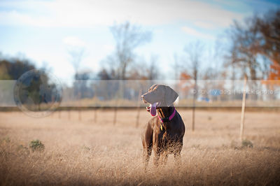 brown shorthaired pointer dog with tongue standing in field