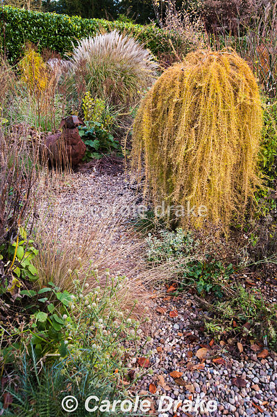 Larix decidua 'Puli' in the gravel garden surrounded by grasses and eryngiums. Windy Ridge, Little Wenlock, Shropshire, UK
