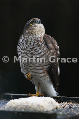Eurasian Sparrowhawk (Accipiter nisus) waiting optimistically on a bird table with throat feathers fluffed out, Lyth Valley, Cumbria, England: Image 3 of 4
