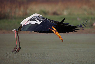 Fishing painted stork (Mycteria leucocephala), Keoladeo National Park, Rajasthan, India