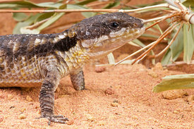 East African spiny-tailed lizard (Cordylus tropidosternum)