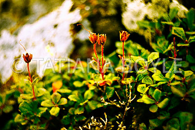 Rhododendron camtchaticum, Ericaceae, in its native habitat, Kuril Archipelago, Russian Federation | Color reversal film