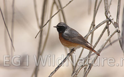 Common redstart/Rødstjert - Oman