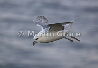 Northern Fulmar (Fulmarus glacialis) in flight, Sumburgh Head, Mainland South, Shetland, Scotland