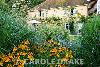 Helenium 'Waldtraut' and Eryngium bourgatii between large clumps of miscanthus. Broughton Buildings, Broughton, nr Stockbridge, Hants, UK