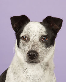 Black and White Cattle Dog Mix  Studio Portrait against Purple