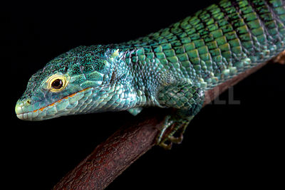 Bocourt's arboreal alligator lizard (Abronia vasconcelosii) photos