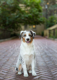 Australian Shepherd Puppy Sitting and Smiling on Brick Pathway