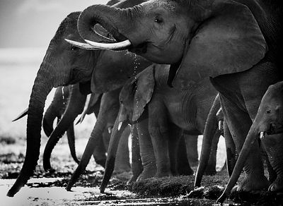 3066-Herd_of_elephants_drinking_in_the_river_Laurent_baheux