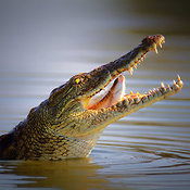 Nile crocodile swollows  a freshly caught fish