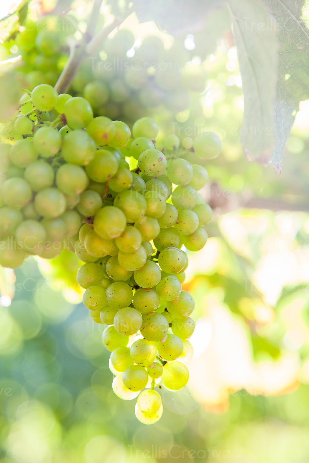 Clusters of chardonnay grapes surrounded by grape vines.