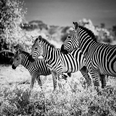 4488-Three_zebras_in_the_bush_Laurent_Baheux