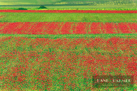 Cultural landscape with corn fields and corn poppies - Europe, Italy, Umbria, Perugia, Monti Sibillini, Piano Grande - digital