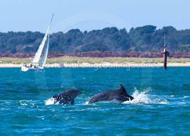Dolphins in Poole Bay