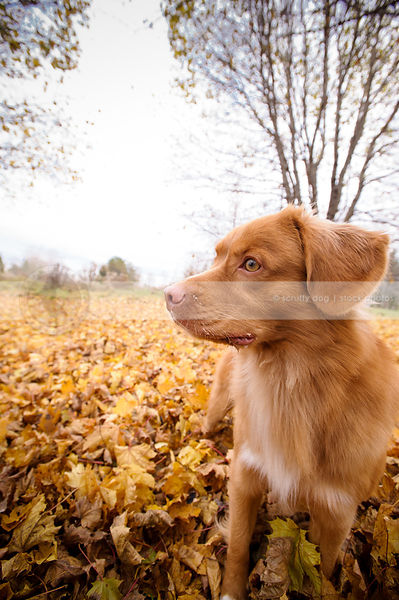 portrait of red dog standing in autumn leaves with trees
