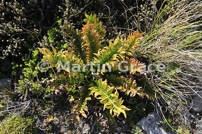 Tall Fern (Blechnum magellanicum), East Falkland, Falkland Islands